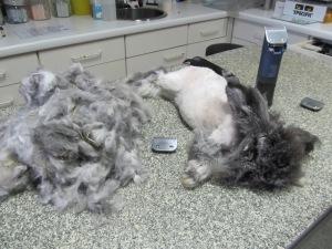 Fluffie na het scheren