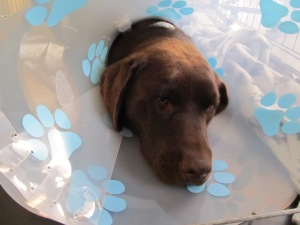 """Deze labrador """"Ollie"""" had maar 1 uitwendig testikel. Foto genomen onmiddelijk na operatie"""